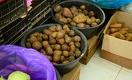 В Узбекистане создают картофелеводческие кластеры